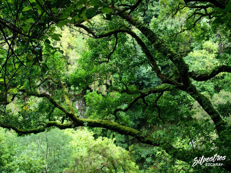 laurisilva_monte_verde_canarias_la_palma_los_tilos_senderos_guia_botánica