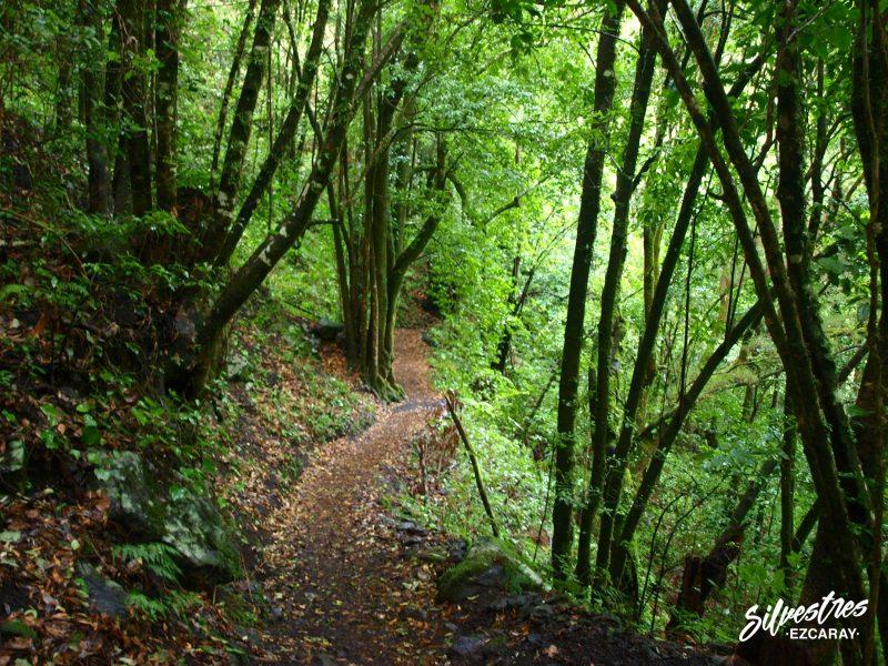 lurisilva_monte_verde_los_tilos_la_palma_senderismo_barranco_agua_guia_montaña