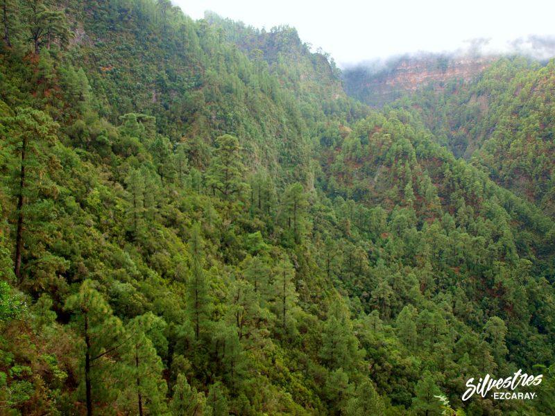 ruta_los_nacientes_la_palma_bosque_los_tilos_senderismo_paisajes_botánica
