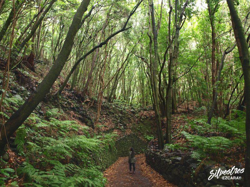 bosque_de_los_tilos_senderismo_rutas_la_palma_que_ver_hacer