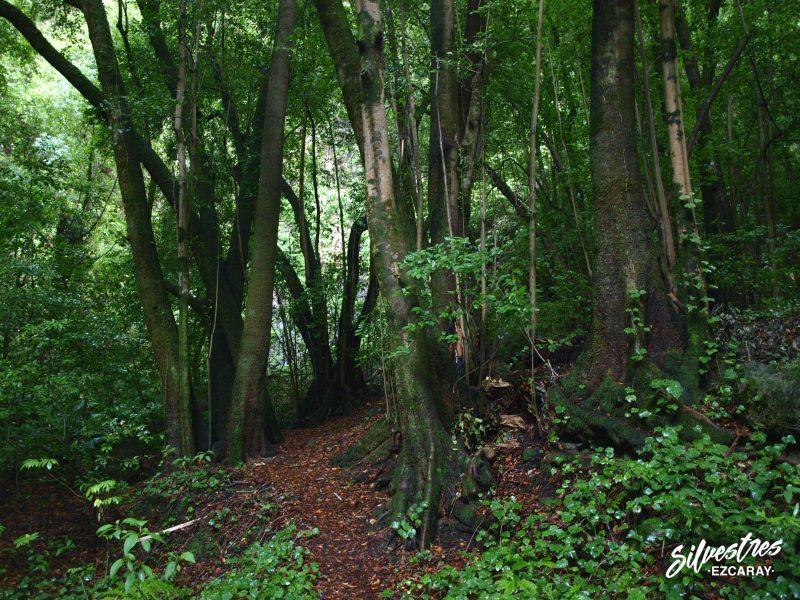 especies_laurisilva_monte_verde_til_ocotea_foetens_bosque_los_tilos_la_palma