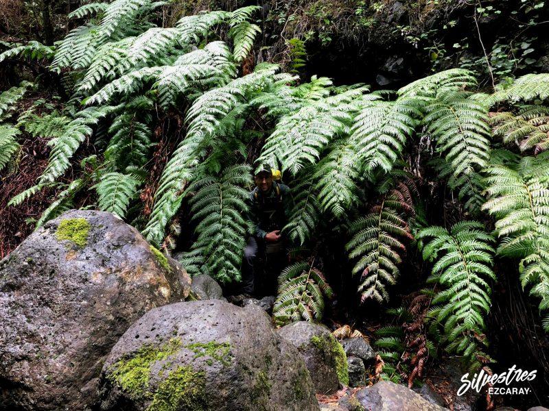 flora_canarias_helechos_gigantes_woodwardia_radicans_pijara_barranco_del_agua
