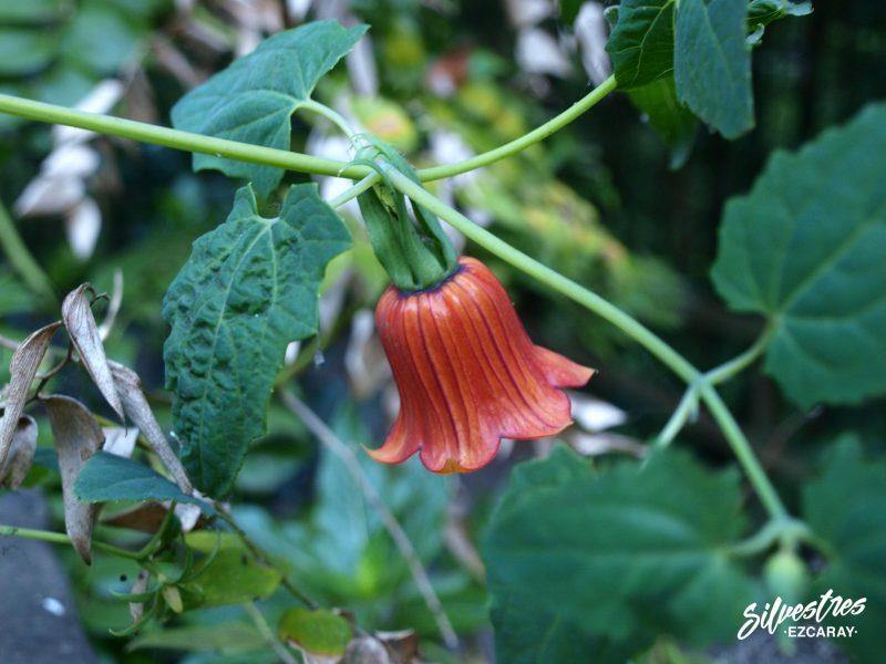 flora_la_palma_laurisilva_bicacaro_canaria_canariensis_viajes_botánicos_de_naturaleza