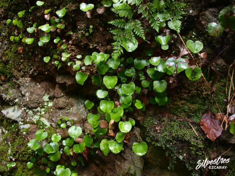 flora_vegetación_canaria_pterydofitos_adiantum_reniforme_bosque_de_los_tilos