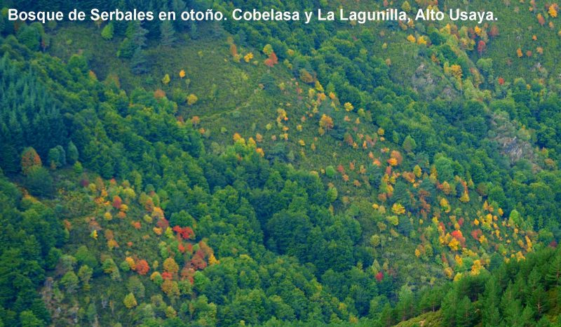 bosques_árboles_ezcaray_la_rioja_otoño_barranco_usaya_siete_puentes_sorbus_serbales