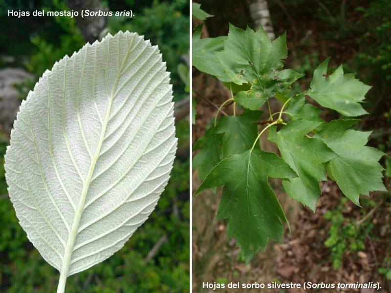 sorbus_torminalis_aria_la_rioja_bosques_sierra_demanda_excursiones_botánicas