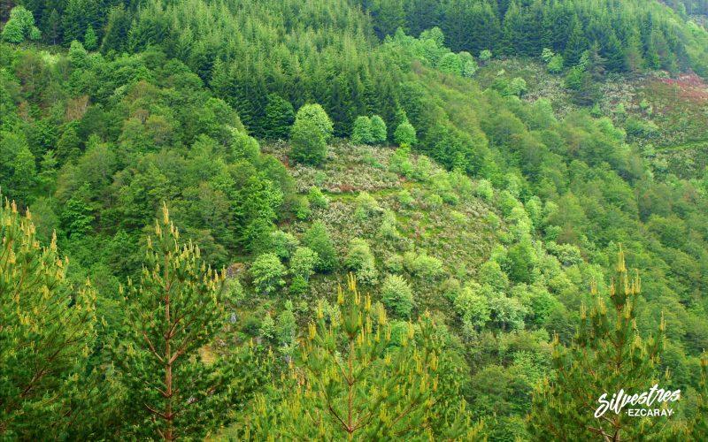 bosques_usaya_serbales_revista_fuero_ezcaray_rutas_botánicas_la_rioja
