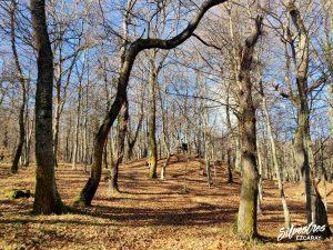bosque_rutas_manzanares_nevera_rebollares_melojares_liquen_chrysothrix_candelaria_la_rioja