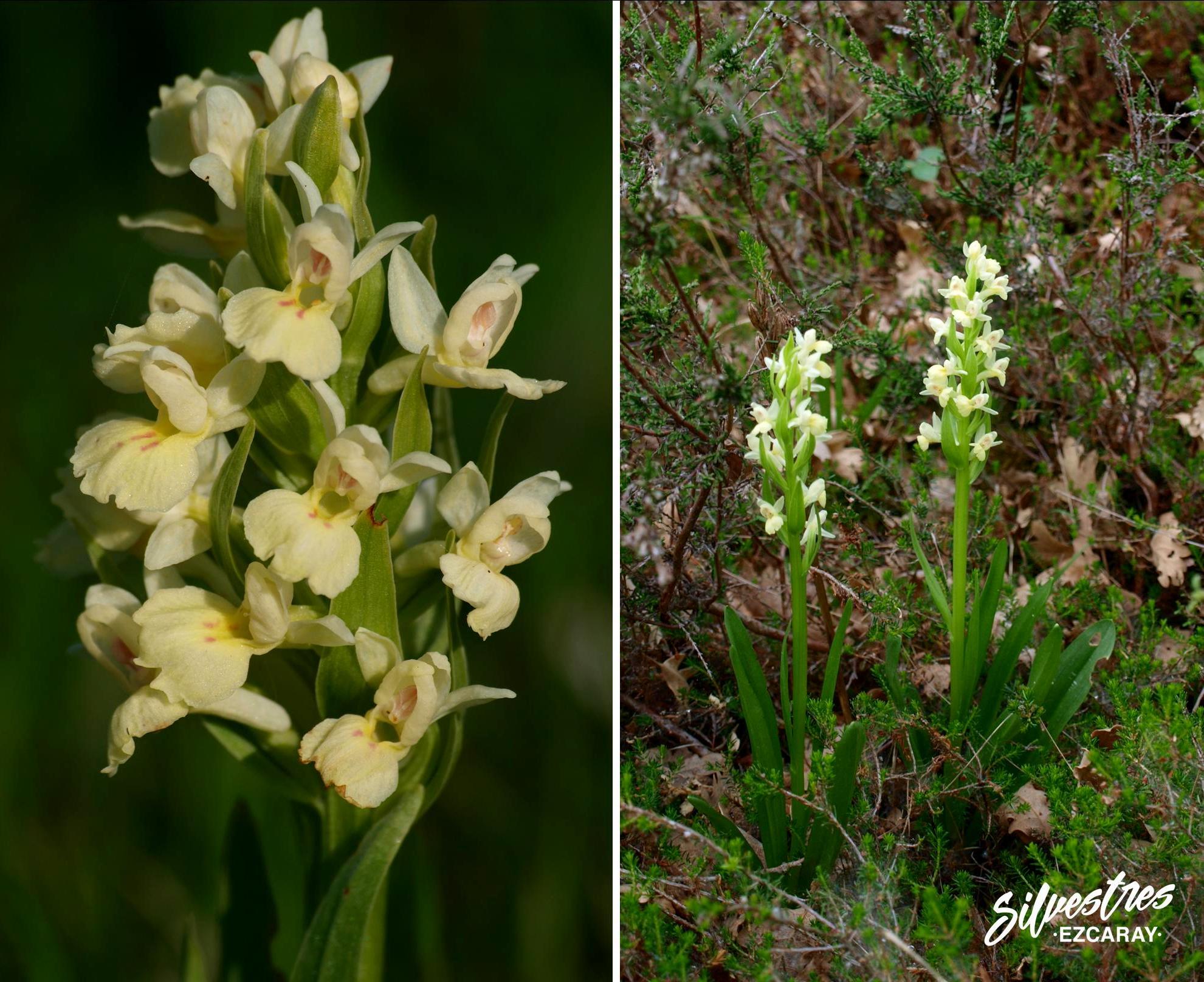 Dactylorhiza_insularis_ezcaray_la_rioja_catalogo_floristico_citas_botanicas
