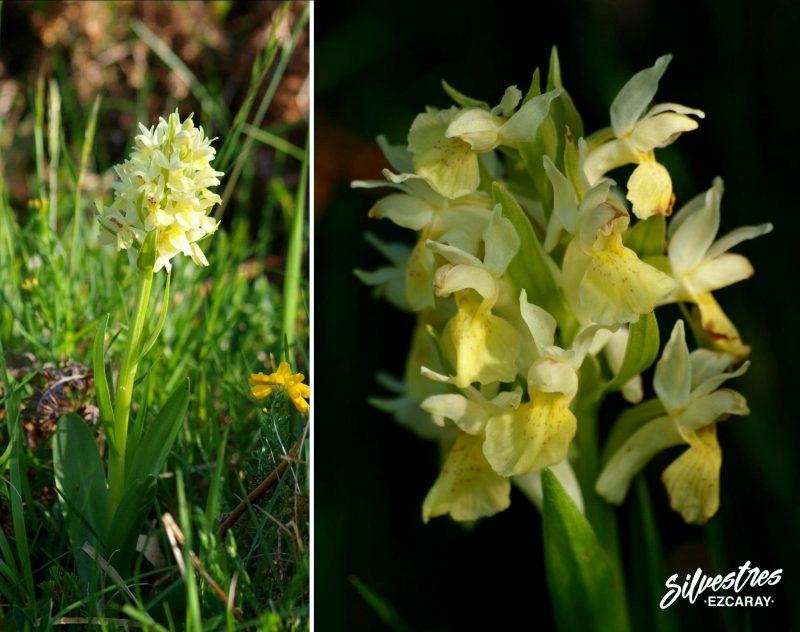 Dactylorhiza_sambucina_ezcaray_la_rioja_catalogo_floristico_citas_botanicas