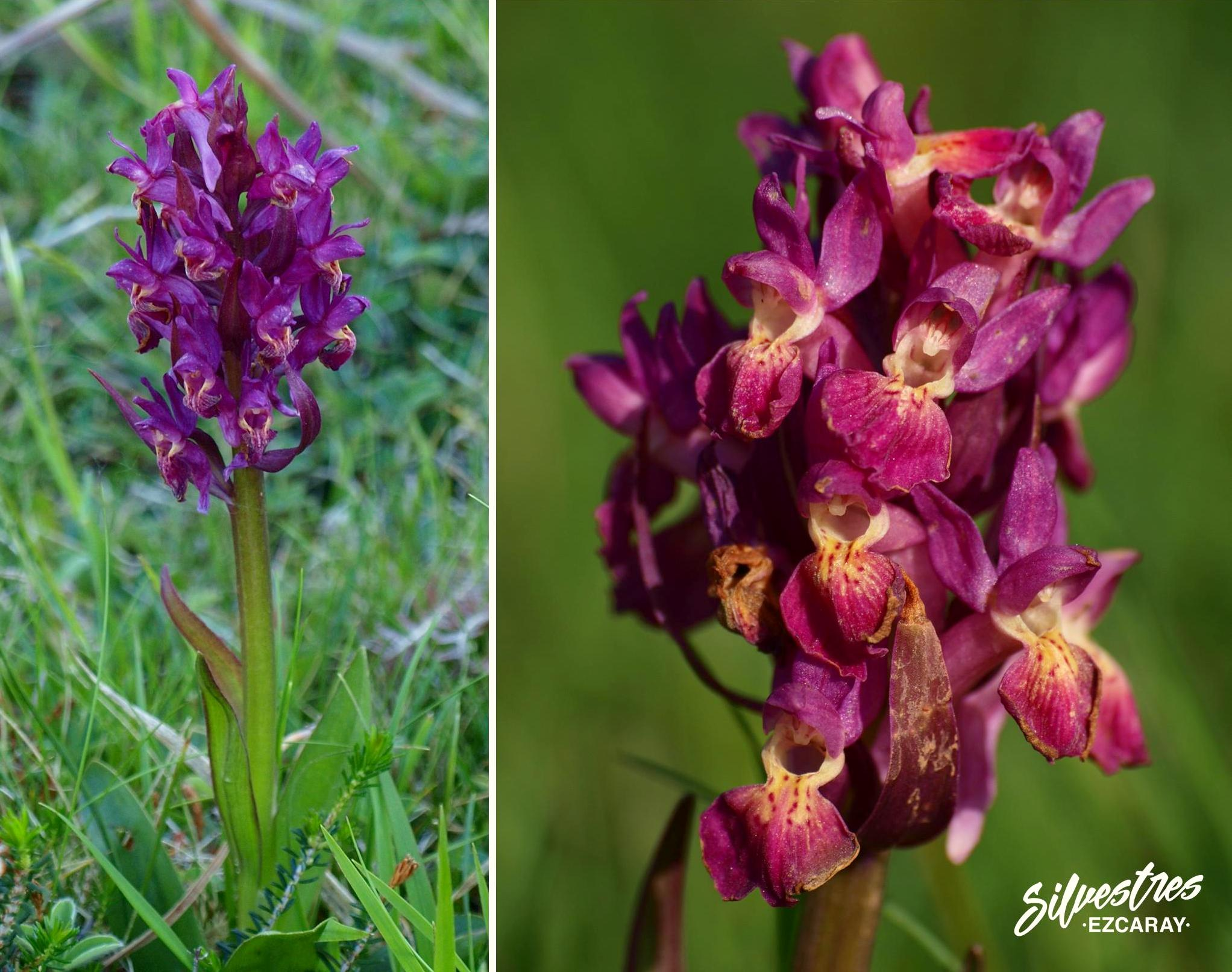Dactylorhiza_sambucina_ezcaray_la_rioja_catalogo_floristico_citas_botanicas_morfo_fucsia