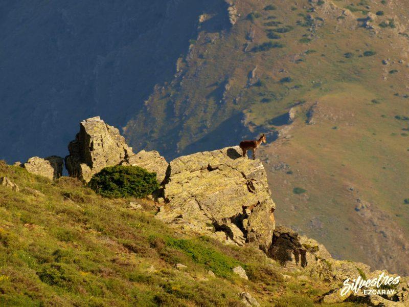 cabra_montes_capra_hispanica_sierra_nevada_fauna_parque_nacional