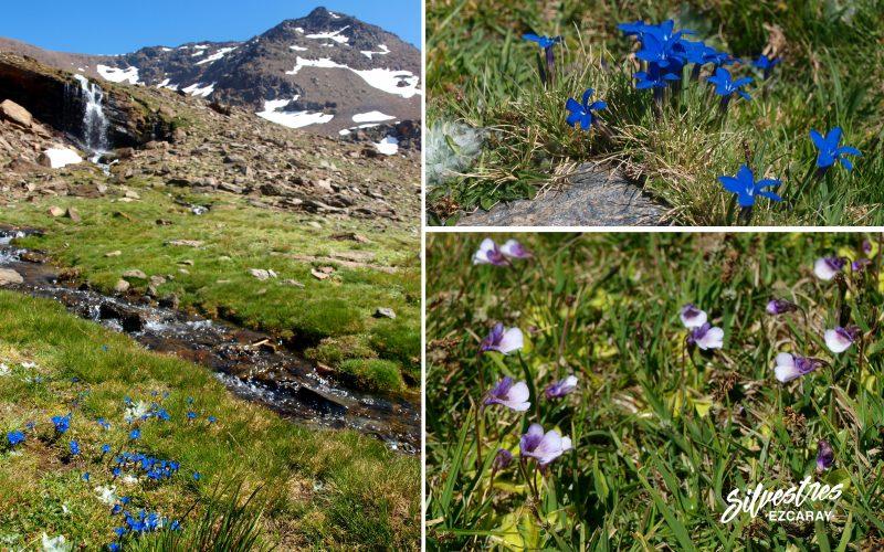 flora_endemica_sierra_nevada_borreguiles_biodiversidad_gentiana_sierrae_pinguicola_nevadensis