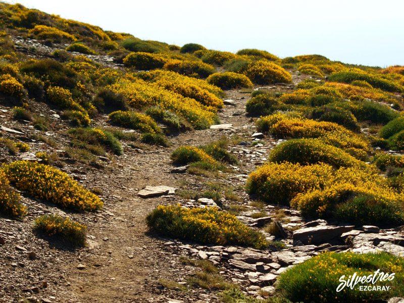 senderismo_sierra_nevada_plantas_piornos_flor_paisajes_rutas