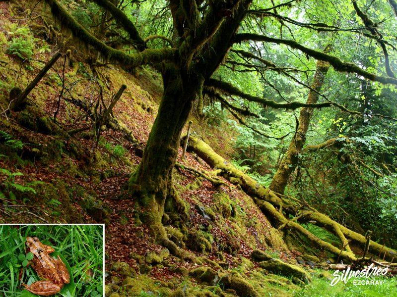 anfibios_escocia_rana_bermeja_temporaria_bosques_fauna_escocia