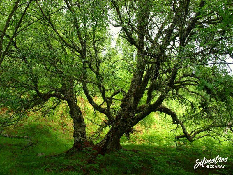 birch_forest_glen_affric_escocia_scottland_paisajes_flora