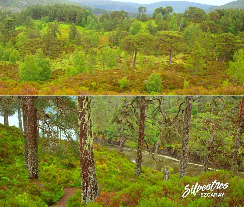 bosque_pino_caledonio_escocia_caledonian_pine_scottish_glen_affric