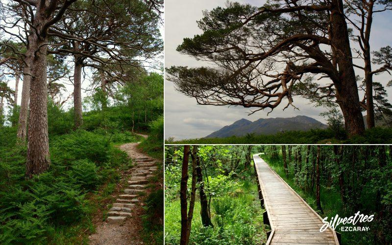caledonian_forest_escocia_pino_caledonio_pinus_silvestres_red_senderos_glen_finnan