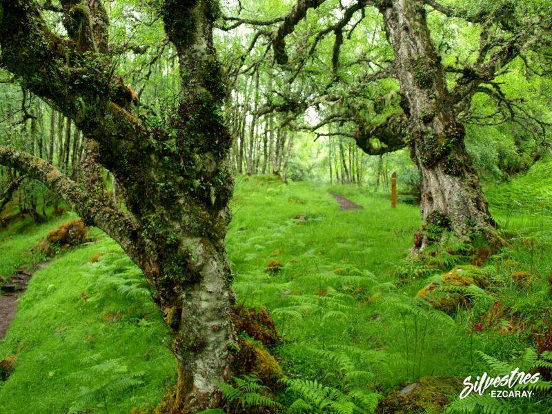 glean_affric_trails_escocia_senderos_bosques_abedules_centenarios
