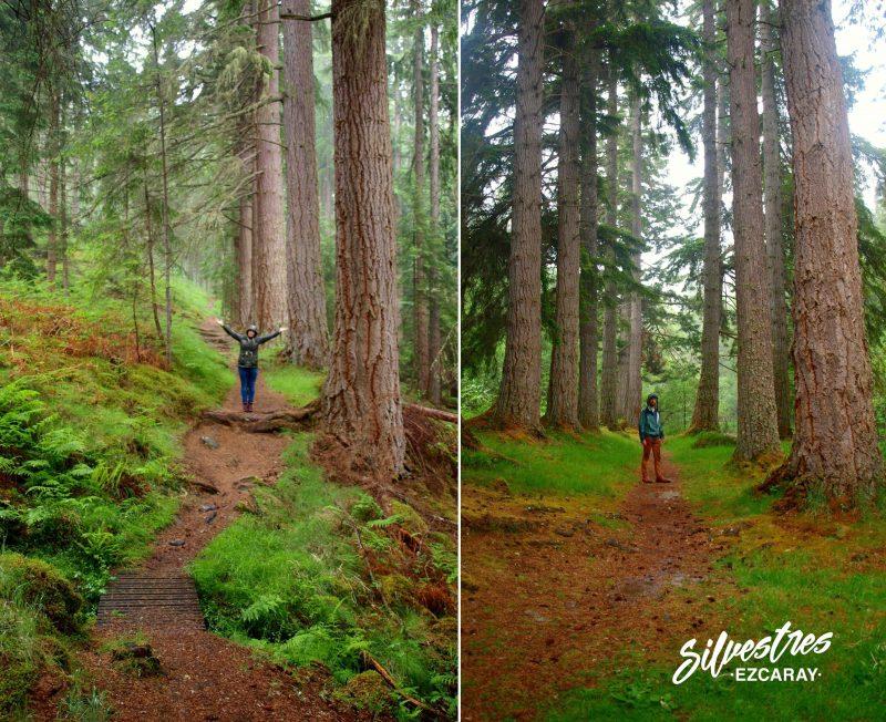 pseudotsuga_douglassi_scotland_abeto_douglass_escocia_forestal_bosques