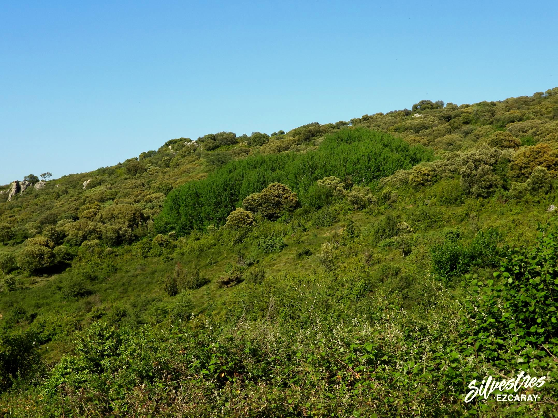 alamo_temblon_la_rioja_montes_obarenes_rutas_botánicas_paisajes_silvestres_ezcaray
