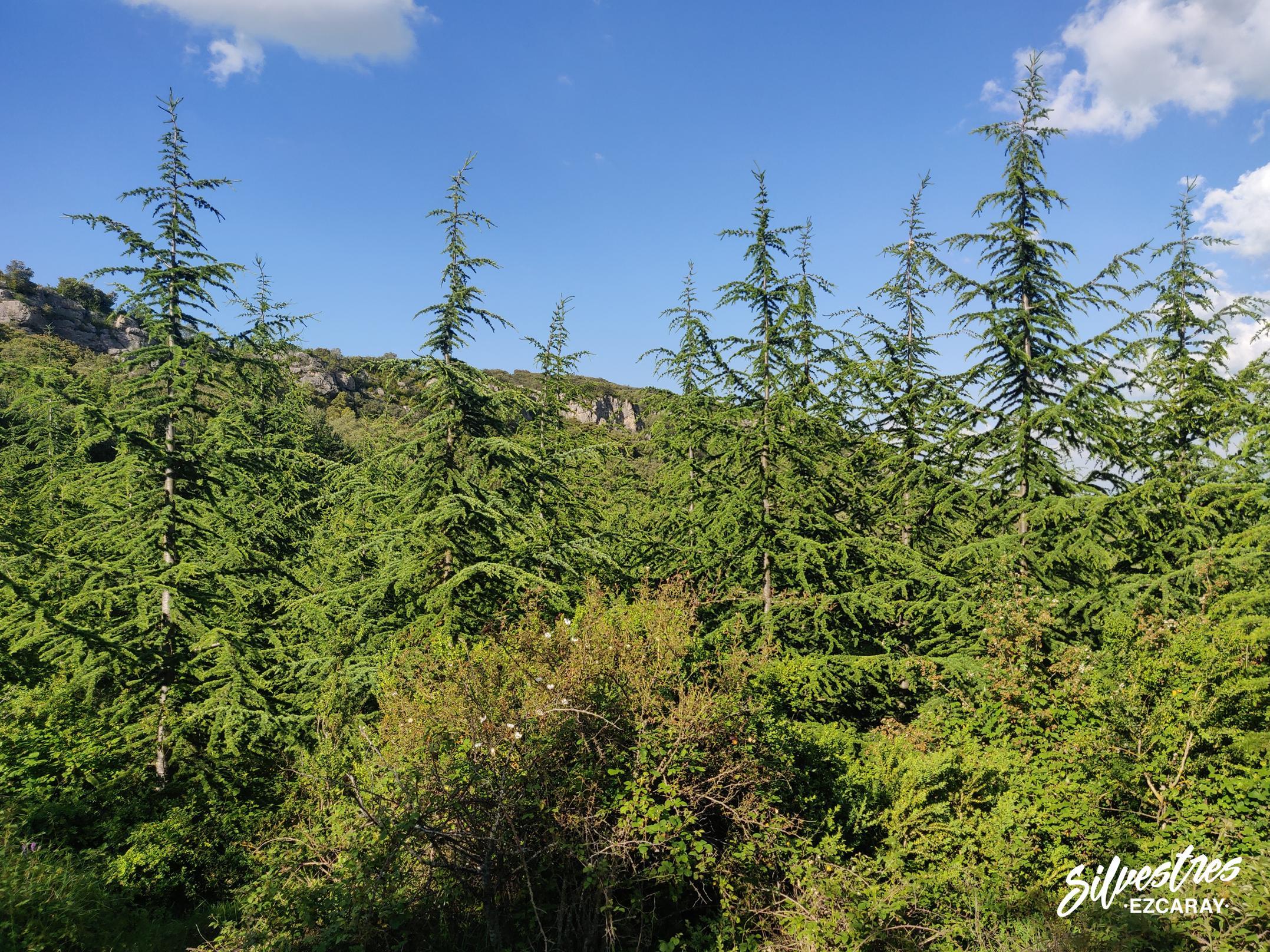 repoblaciones_forestales_la_rioja_credro_del_atlas_cedrus_atlantica_monte_foncea