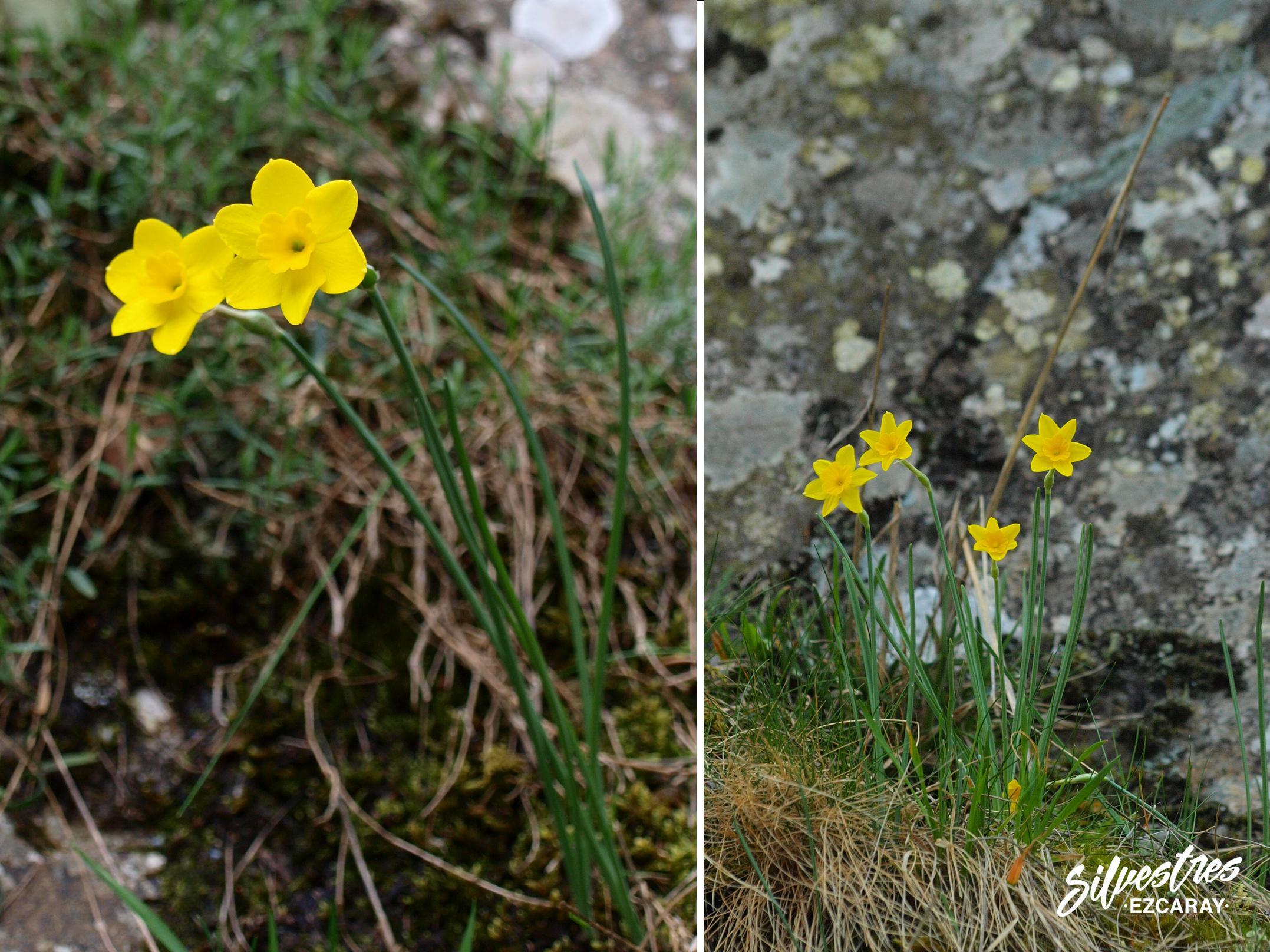 narcissus_rupicola_la_rioja_flora_excursiones_botánicas_guia_naturaleza